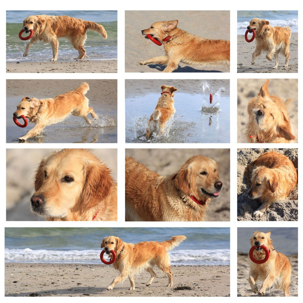 Der Golden Retriever