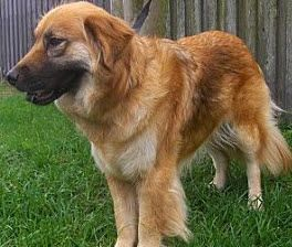 Golden Retriever Mix Golden-Shepherd