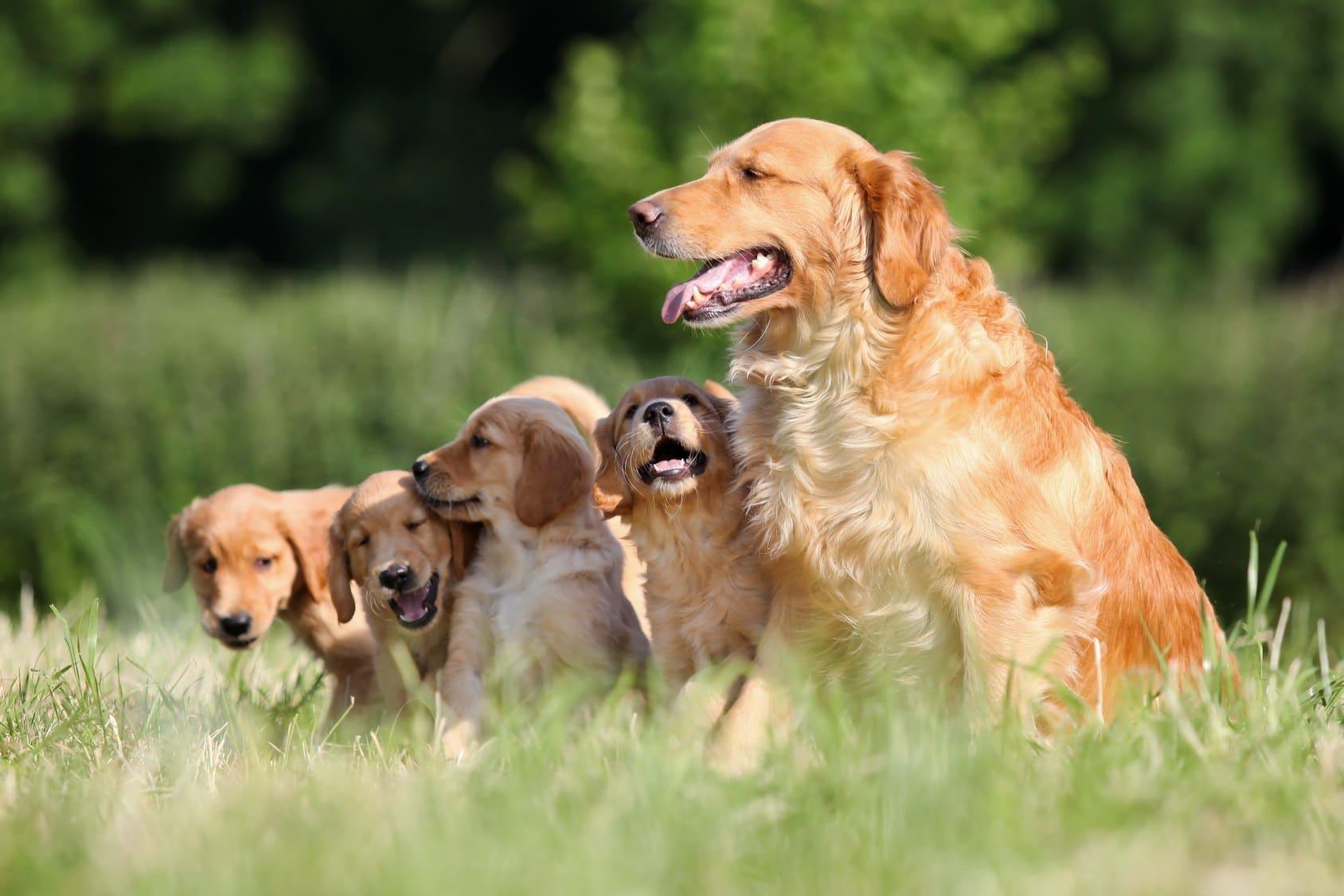 Golden Retriever Familie beim Züchter