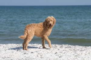 Labradoodle, Golden Retriever Mix