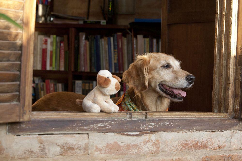 Hunde Golden Retriever