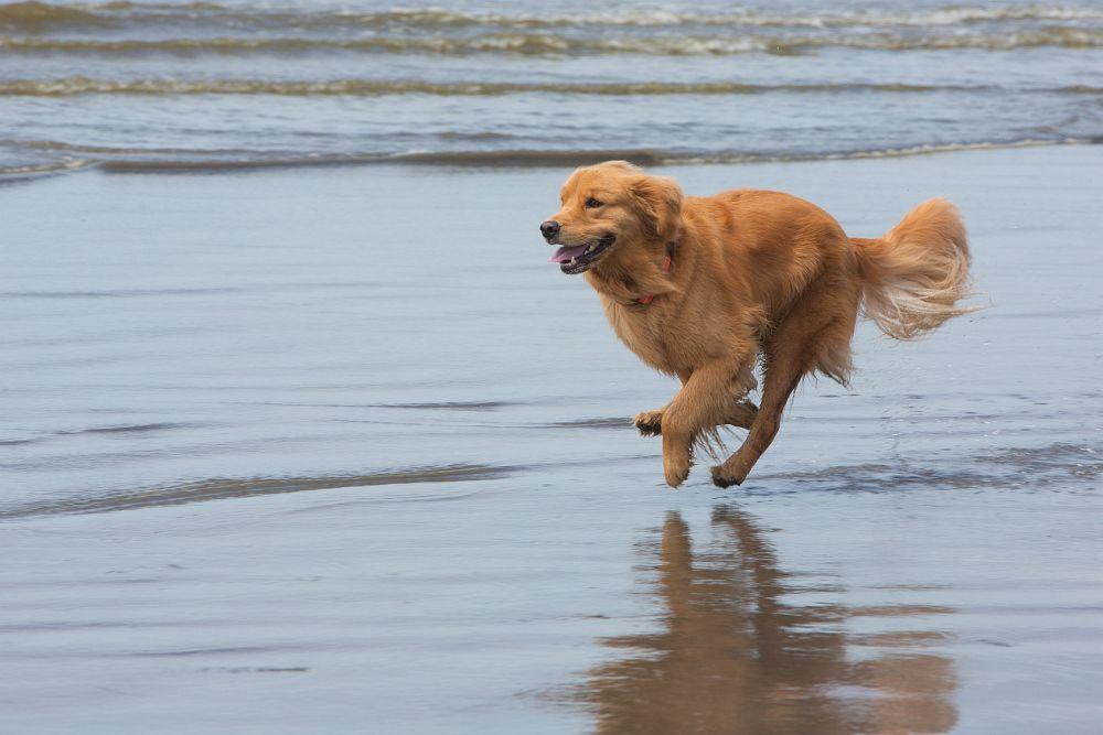 Hundepension Golden Retriever