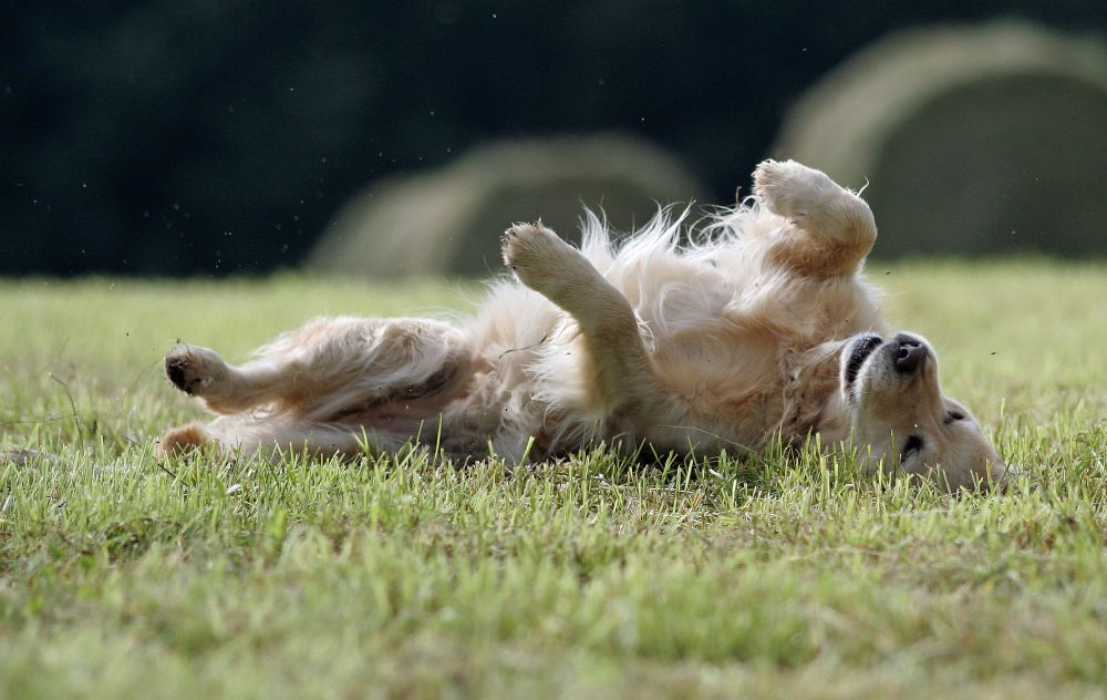 Juckreiz Golden Retriever Parasiten