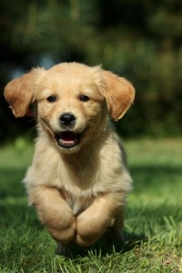 Welpen Golden Retriever