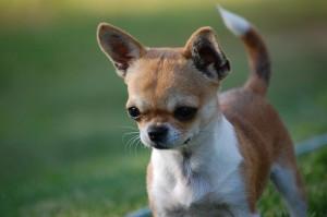 Chihuahua-Hund