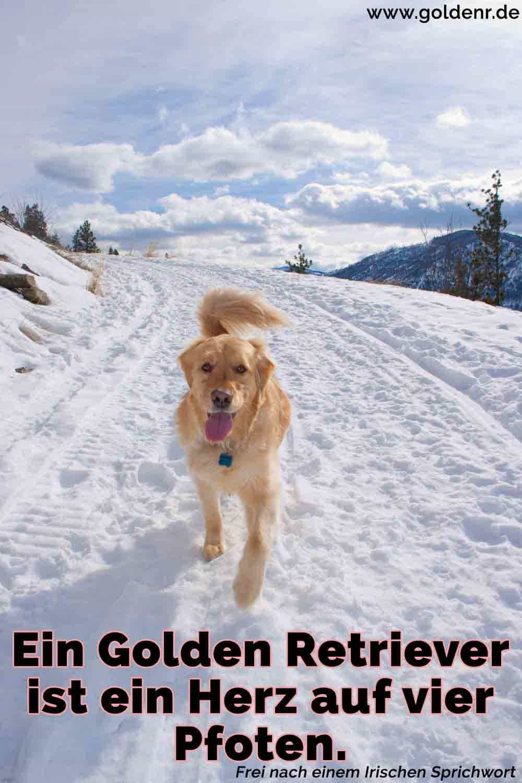 Ein Golden Retriever läuft im Schnee