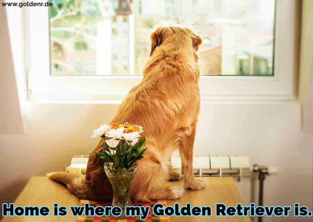 Ein Golden Retriever sitzt am Tisch in dem Fenster