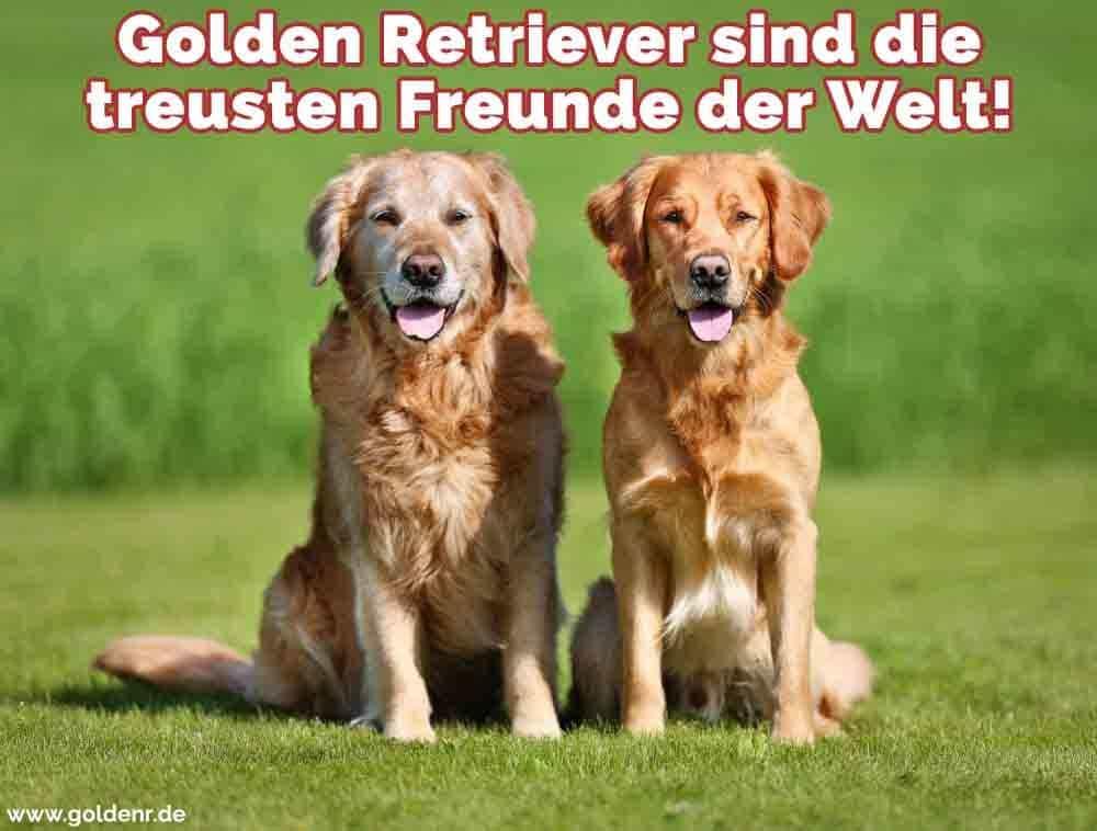 Zwei schöne Golden Retrievers