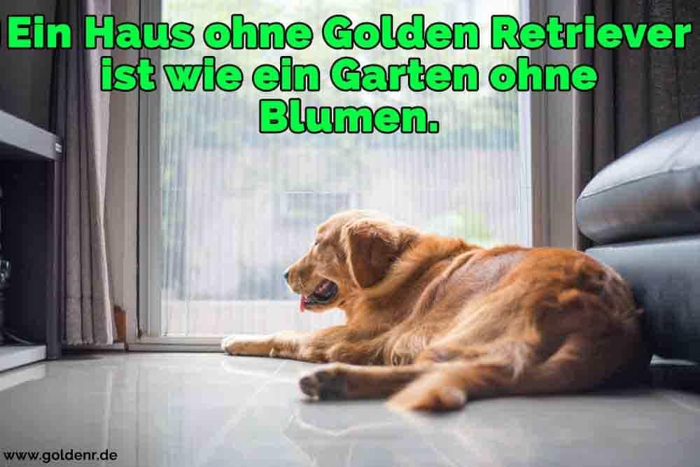 Ein Golden Retriever auf dem Boden liegend schaut aus dem Hause