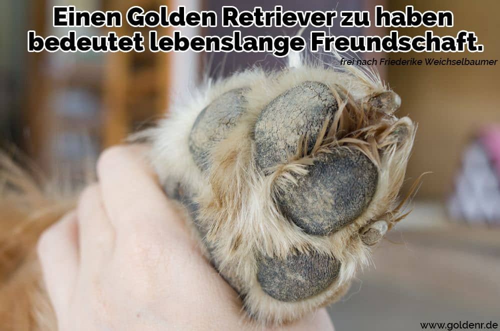 Nette Füße des golden retriever welpenhundes