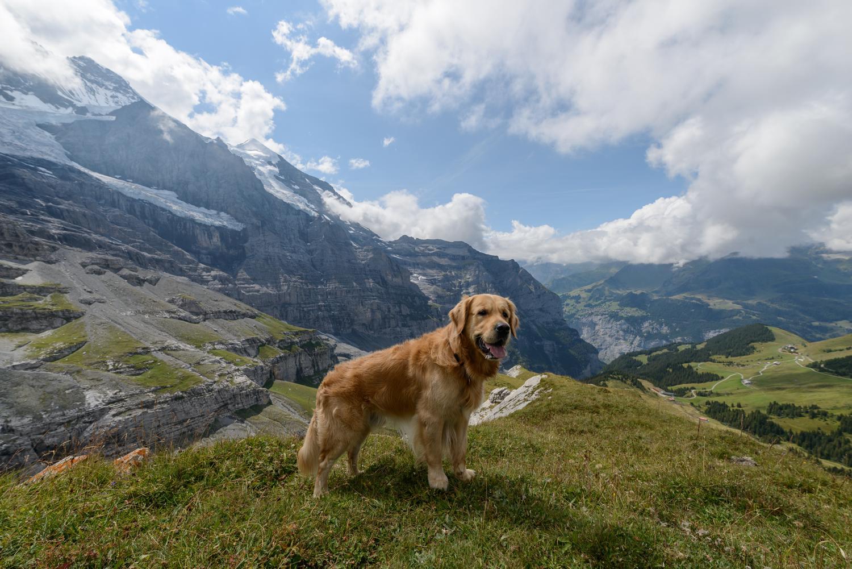 Golden Retriever Züchter in der Schweiz