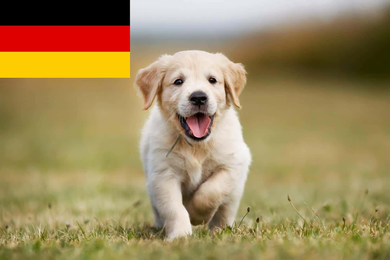 Golden Retriever Welpen in Deutschland
