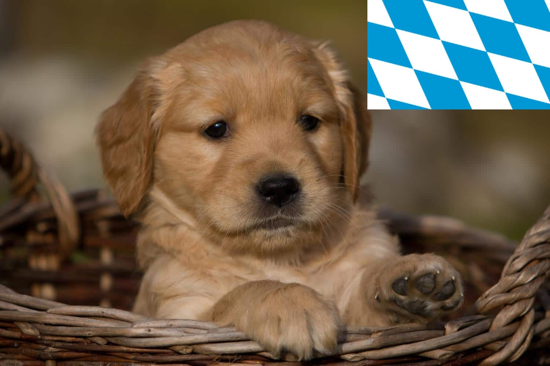 Golden Retriever Welpen und Züchter in Bayern