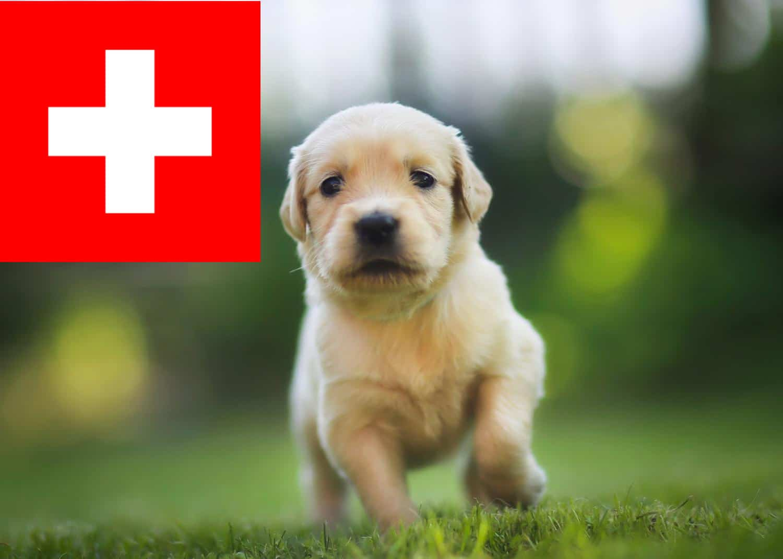 Golden Retriever Welpen in der Schweiz