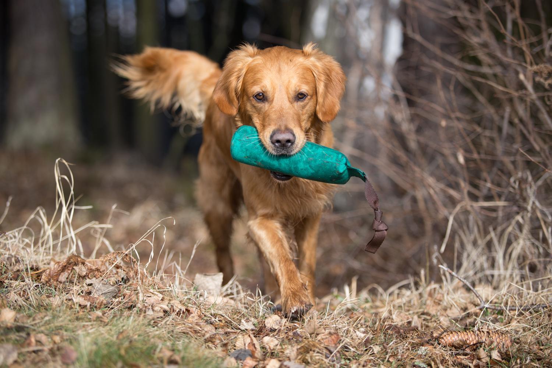 Golden Retriever beschäftigen - Golden Retriever läuft mit Dummy im Maul aus dem Wald