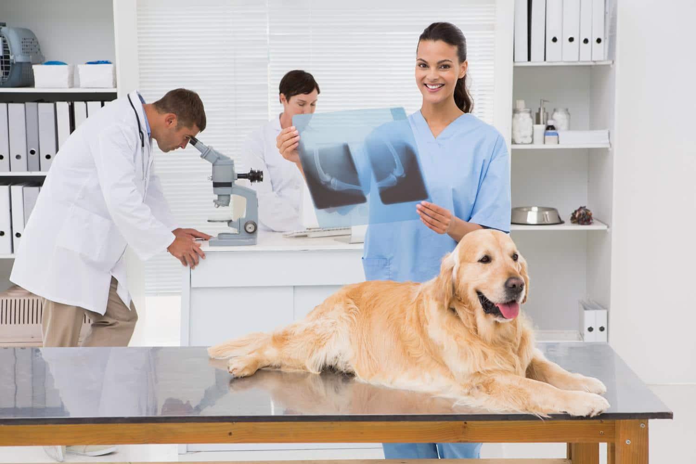 Golden Retriever Krankheiten - Was sind typische Krankheiten beim Golden Retriever?