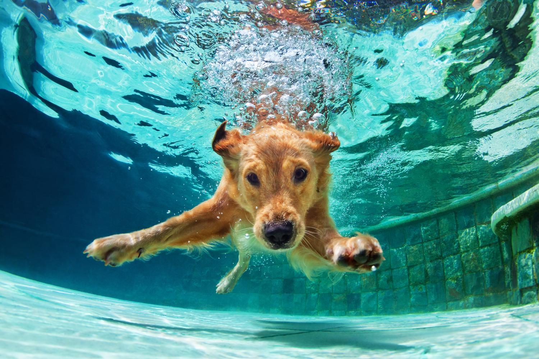 Kann ein Golden Retriever schwimmen?