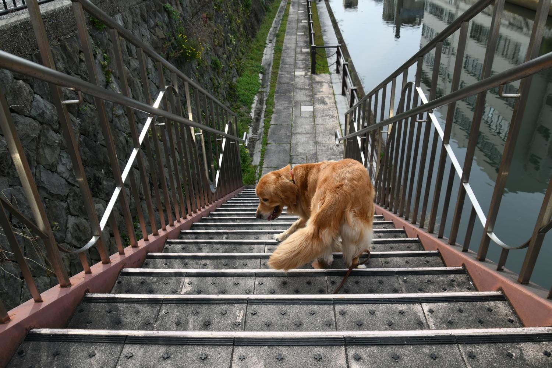 Können Golden Retriever Treppen laufen?