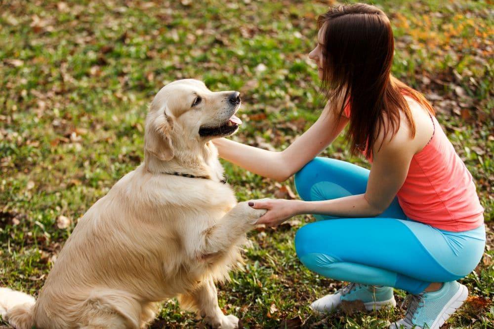 Ist ein Golden Retriever ein Anfängerhund?