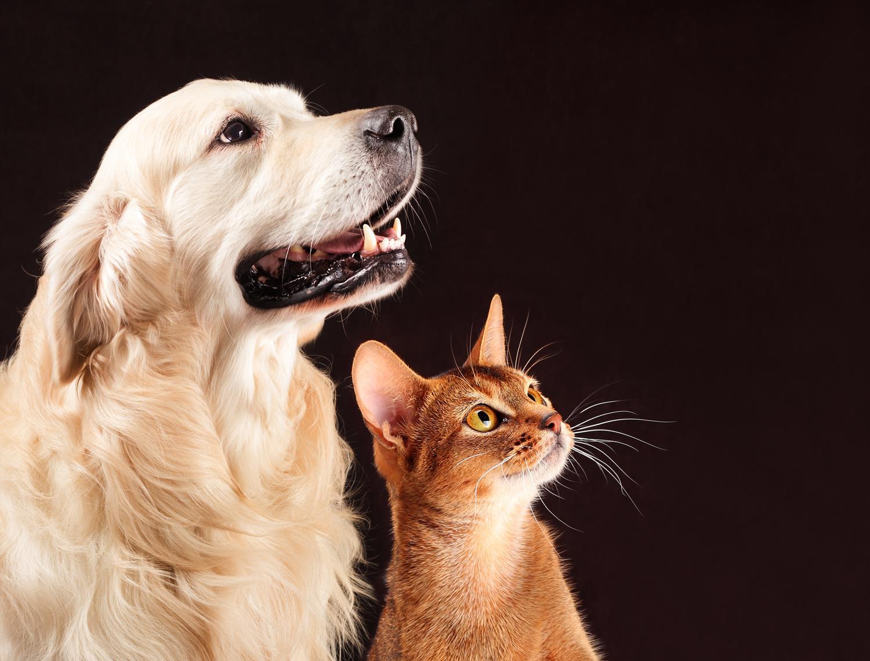 Verstehen sich Golden Retriever mit Katzen?