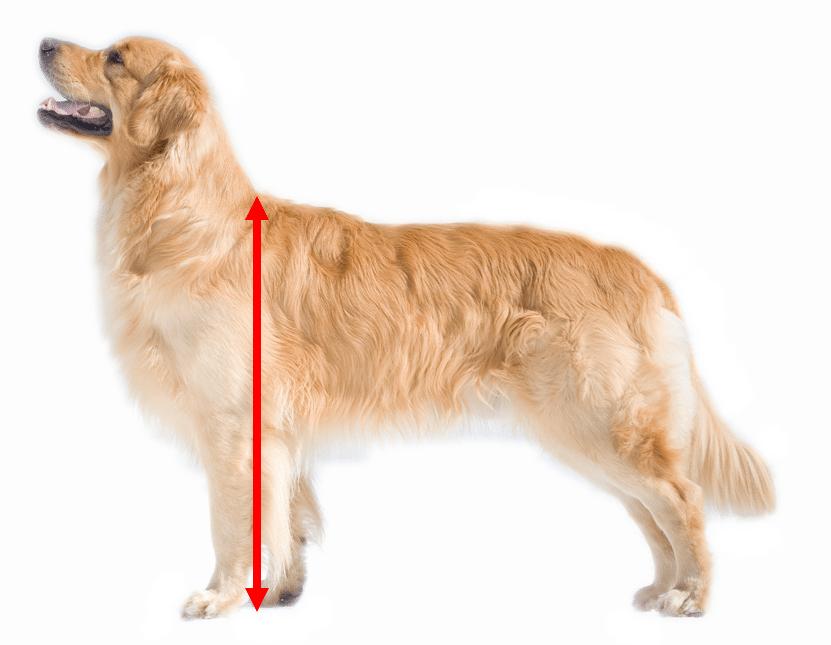 Wie groß ist ein Golden Retriever?
