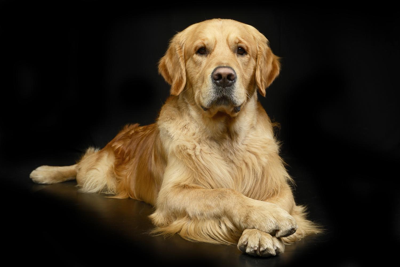 Portrait eines stolzen und schönen Golden Retriever im Studio.