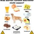 Was darf ein Golden Retriever nicht essen?