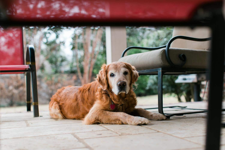 Wie alt wird ein Golden Retriever Hund?